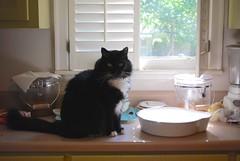 Why is the water bowl on the counter? (1 of 4) (rootcrop54) Tags: male water fountain cat furry chat counter longhair bowl tuxedo kitteh batman  macska gatto katzen kot koka kedi katt kissa kttur maka kucing waterbowl    kat  maek kais pisic gorbe