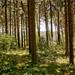 Mittsommerwald - Midsummer Forest II
