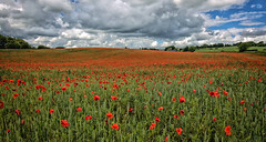A sea of red poppies. (DeviantSnappa) Tags: flowers red england colour landscape nikon northumberland poppies northeast