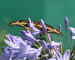 Giant swallowtail butterfly (Victoria Morrow) Tags: droh dailyrayofhope