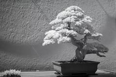DSC_3889s (An Xiao) Tags: arboretum bonsai penjing