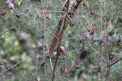 Hakea-sericea-1 (alison.klein) Tags: wetlands mangroves sydneyolympicpark