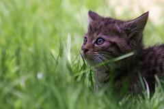 Lost in the grass (FocusPocus Photography) Tags: grass animal cat kitten feline gras katze wildcat tier tripsdrill felissilvestris jungtier wildparadies wildkatze