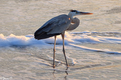 Great Blue Heron (Ardea herodias) [in Explore on 8th July 2016] (Yvonne Oelsner) Tags: beach strand florida greatblueheron cocoabeach ardeaherodias reiher kanadareiher amerikanischergraureiher
