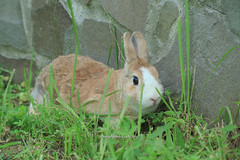 20160605-IMG_8350.jpg (ina070) Tags: animals canon6d grass pet rabbit