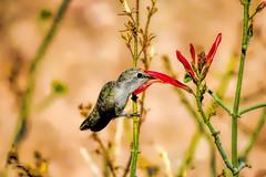 This Buds For You (vgphotoz) Tags: arizona flower ngc bud thisbudsforyou imagesforthelittleprince vgphotoz