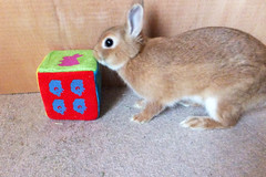 Ichigo san 295  (mensore) Tags: brown bunny cute family ichigo netherland dwarf netherlanddwarf pet rabbit