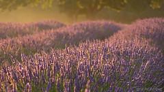 Lavender fields revisited (Sue MacCallum-Stewart) Tags: mayfieldlavender lavender sunrise earlymorning lavandula