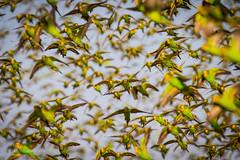 IMG_0386.jpg (Paul Williams www.IronAmmonitePhotography.com) Tags: bird budgerigar summer murmuration dryseason melopsittacusundulatus australia