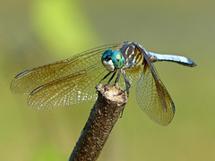 Blue Dasher (Pachydiplax longipennis) (WRFred) Tags: dragonfly wildlife nature maryland montgomerycounty insect