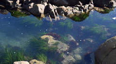 better tide pool pic (the first one, last week, was a bad phone pic) (ihynz7) Tags: california redwoodnationalandstateparks wilsoncreek tidepools