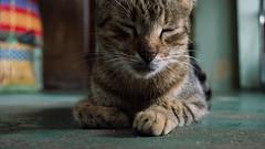 gato:3 (rhonallara) Tags: cat gatos felinos animales mascotas followme