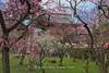 Plum Blossoms at Kitano Tenman-gū in Kyoto. (KyotoDreamTrips) Tags: japan kyoto ume matsuri 北野天満宮 plumblossoms 梅花 baikasai 梅花祭 michizane kitanotenmangū