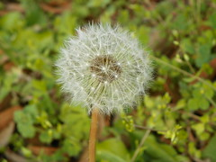 3-13-15 035 (LeeLee's pictures) Tags: 31315 mississippiriver woods nature dandelions yellow flower wildflower weeds makeawish white flyaway