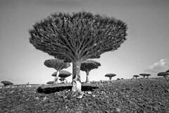 Yemen - Socotra (luca marella) Tags: bw white black tree film analog landscape island blackwhite voigtlander bessa middleeast pb bn 400 bianco nero dracaena tmx cinnabari marellaluca sanguedidrago damalakhawain