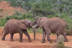 Play-fighting elephants (stevelamb007) Tags: africa landscape southafrica addo bush nikon telephoto afrika elephants fighting nikkor easterncape playfighting ellies 18200mm d90 addoelephantnationalpark stevelamb