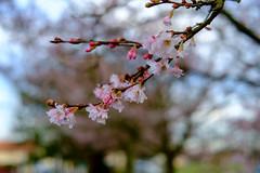 Cerisier renouveau!!!!! (Photos.dan2010 Merci.Thanks pour vos 1.M. Visites) Tags: fuji bokeh cerisiers fujixpro1 xf1855r