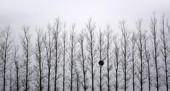 Mistletoe and Poplar (Simon Verrall) Tags: morning trees winter blackandwhite mist plant tree silhouette sussex march poplar westsussex outdoor whitebackground mistletoe midhurst 2015 windbreak fernhurst