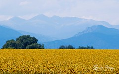 Sunflowers along the Rockies (Tiffany Lynn Photography.net) Tags: travel landscape recreation