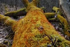 Moos im Giltholz 003 (archegonus) Tags: pflanzen vegetation grn olivgrn hellgrn rotgrn gelbgrn moosgrn blaugrn grasgrn dunkelgrn blassgrn flaschengrn grnlich grnpflanzen graugrn sattesgrn farbederhoffnung braungrn dunklesgrn leuchtendesgrn ppigesgrn krftigesgrn wucherndesgrn