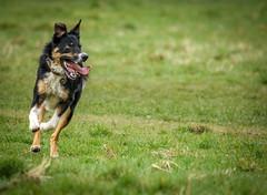 Batdog (Aultone) Tags: park dog nature spring bat surrey nonsuch batdog aultone 24455265