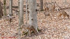 Radnor Lake Whitetail Deer (mikerhicks) Tags: winter usa geotagged unitedstates nashville hiking tennessee wildlife whitetaildeer tennesseestateparks radnorlakestatepark radnorlakestatenaturalarea oakhillestates sigma18250mmf3563dcmacrooshsm canoneos7dmkii geo:lat=3606353183 geo:lon=8680666923