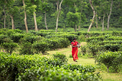 Walking in the tea plantations of Sylhet, Bangladesh. (cookiesound) Tags: travel woman inspiration canon walking photography tea fields sari sylhet bangladesh teafields travelphotography teaplantations teapicker teapicking travelphotographer redsari cookiesound nisamaier ullimaier