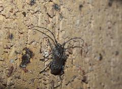 Cerambycidae Lamiinae>Dihammus? Sheep Longicorn Beetle DSCF7396 (Bill & Mark Bell) Tags: exmouth westernaustralia australia geo:town=exmouth geo:state=westernaustralia geo:country=australia geo:lon=11425453egeolat2217752sgeoalt8m 11425453e2217752salt8m taxonomy:kingdom=animalia animalia taxonomy:phylum=arthropoda arthropoda taxonomy:class=insecta insecta taxonomy:order=coleoptera coleoptera taxonomy:family=cerambycidae cerambycidae taxonomy:subfamily=lamiinae lamiinae taxonomy:genus=dihammus dihammus taxonomycommonnameflatfacedsheeplongicornbeetle flatfacedsheeplongicornbeetle animal fauna beetle