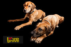 Rhodesian Ridgebacks in studio (shellylovegrove) Tags: red portrait dog brown white black smiling animal closeup proud mouth studio fur mammal one pretty sitting looking view floor expression chocolate background watching wave indoors domestic breed ridgeback facial attentive isolated pedigree rhodesian cur purebred mindful lenght