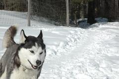 Prime Winter2015 (sponng) Tags: dog snow dogs husky play canine huskies siberianhusky siberian canines
