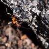 Not easy... (Gjesdal.org (away on vacation)) Tags: norway easter nikon påske austagder formicarufa d810 agder nikon105mmf28afsifedvriimicro topazdetail topazclarity topazinfocus rødskogsmaur