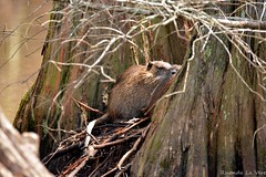 Nutria (laverer) Tags: lake tree louisiana day cross swamp cypress shreveport nutria