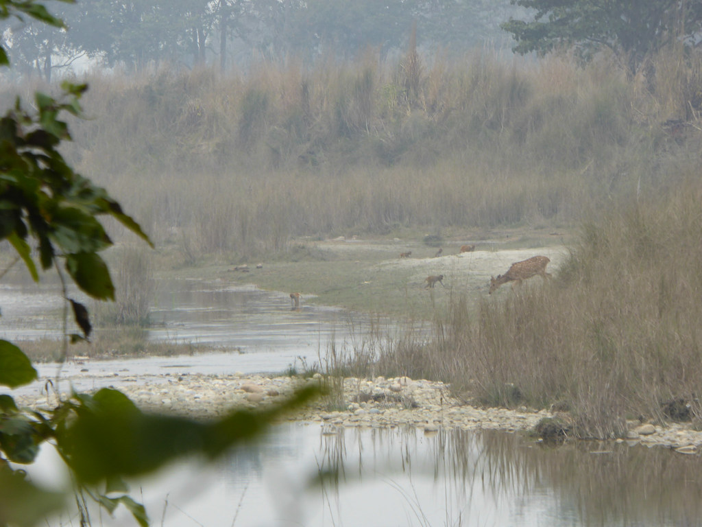 Spotted Deer at Bardia