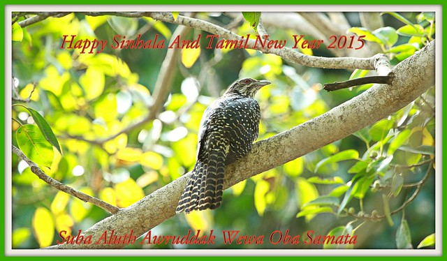 I wish all my Sri Lankan & Tamil friends A Happy  And Prosperous New Year 2015 -  Female New Year Cuckoo or Asian Koel (Eudymamys scolopacea)