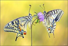 No quiso cerrar las alas (- JAM -) Tags: naturaleza flower macro nature insect nikon ngc flor explore npc jam mariposas d800 insecto macrofotografia explored lepidopteros juanadradas