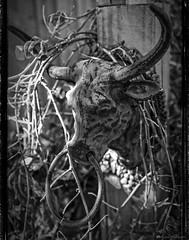 No Bull! (Mr Mo-Fo) Tags: wood blackandwhite plants overgrown metal fence mono cow weeds iron bullock rusty bull ring ornament knocker shrubs mrmofo desmorris canoneos1dx dpmphotographycom