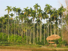 Rice Field, Kerala, India, Reisfeld, Indien, Asia, Asien (oksana8happy) Tags: copyright india rural asia asien heiconeumeyer rice farm farming reis kerala palmtree agriculture ricefield ricefields palme indien wayanad agricultural reisfeld riceplant paan southasia copyrighted riceplants indianrice arecanut ricefarming wayanaddistrict betelnuss arecapalm reisanbau südasien arecanutpalm betelnusspalme betelpalme betelnus nordkerala kenichira arekanuss arekanus