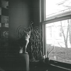 Rue (ilovecoffeeyesido) Tags: blackandwhite bw analog cat mediumformat square availablelight squareformat vintagecamera rue 400iso 620film rollfilm catportrait notmycat anscopanda kodakrollfilm kodak400tmy2620