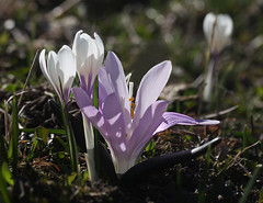 ils sortent ensemble (luka116) Tags: fleur berg montagne schweiz switzerland suisse swiss svizzera paysage moutain wallis valais montagnes 2015 evolne valdhrens lasage crocusalbiflorus liliaces iridaces bulbocodiumvernum