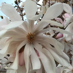 Spring is here! (Man_of Steel) Tags: whiteflower spring magnolia floweringtree urbanflower magnoliastellatastarmagnolia urbantreefloweringinchicago