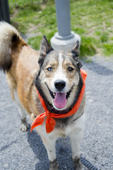 Wilma A190452 (9) (Ottawa Humane Society) Tags: dog dogs animal outside photography spring mix husky outdoor shepherd ottawa german ottawahumanesociety animalshelterphotography