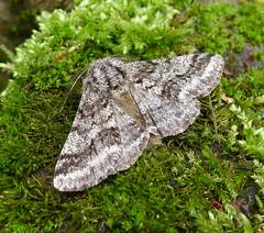 Brindled Beauty. Male. Lycia hirtaria. (gailhampshire) Tags: male beauty lycia brindled hirtaria taxonomy:binomial=lyciahirtaria