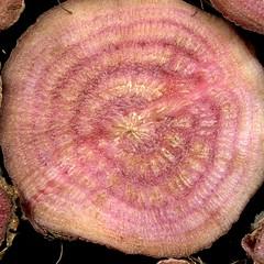 57299.02 Beta vulgaris subsp. maritima (horticultural art) Tags: macro closeup beta round root crosssection betavulgaris betavulgarissubspmaritima horticulturalart rootcrosssection