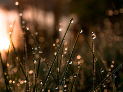 luminata IX - raindrops in sunrise (Florian Grundstein) Tags: morning wallpaper lake macro grass rain digital sunrise mirror drops soft bokeh details dream olympus dew florian zuiko grundstein upperpalatinate omdem5