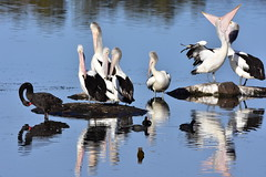Silly Pelicans bringing attention to themselves (Luke6876) Tags: reflection bird water animal swan wildlife pelican blackswan coot australianwildlife australianpelican eurasiancoot