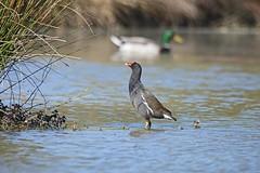 Gallinule poule-d'eau-Gallinula chloropus-(Domaine Des Oiseaux Arige) (baltik18) Tags: des oiseaux domaine gallinule pouledeau arige chloropuscommon pouledeaugallinula moorhengruiformesrallids