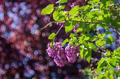 Lilac (MSC_Photography) Tags: sun zeiss garden spring nikon warm bokeh jena lilac carl f2 zenit common sonne 58mm garten swirly 44 frhling helios 442 vulgaris 444 flieder syringa biotar 446 445 447 gemeiner 443 44m d5100