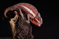 Daredevil (Jen St. Louis) Tags: red ontario canada london studio reptile lizard chameleon pawprints petportrait petphotography pantherchameleon nikon105mmf28 ankaramy nikond750 wwwpawprintsphotosca captivecreationscanada