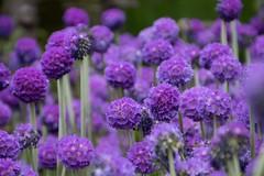 Edinburgh Botanic Gardens. (Adrian Walker.) Tags: flowers plants gardens canon purple explore elements tamron botanicgardens 80d