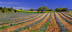 Lignes et Courbes.......... (Malain17) Tags: panorama france nature colors clouds composition photography image pentax perspective champs photographers arbres provence capture paysage lignes montagnes colza courbes lavandes sillons